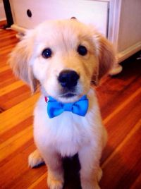 Golden puppy with bow tie | Animal Planet | Pinterest ...