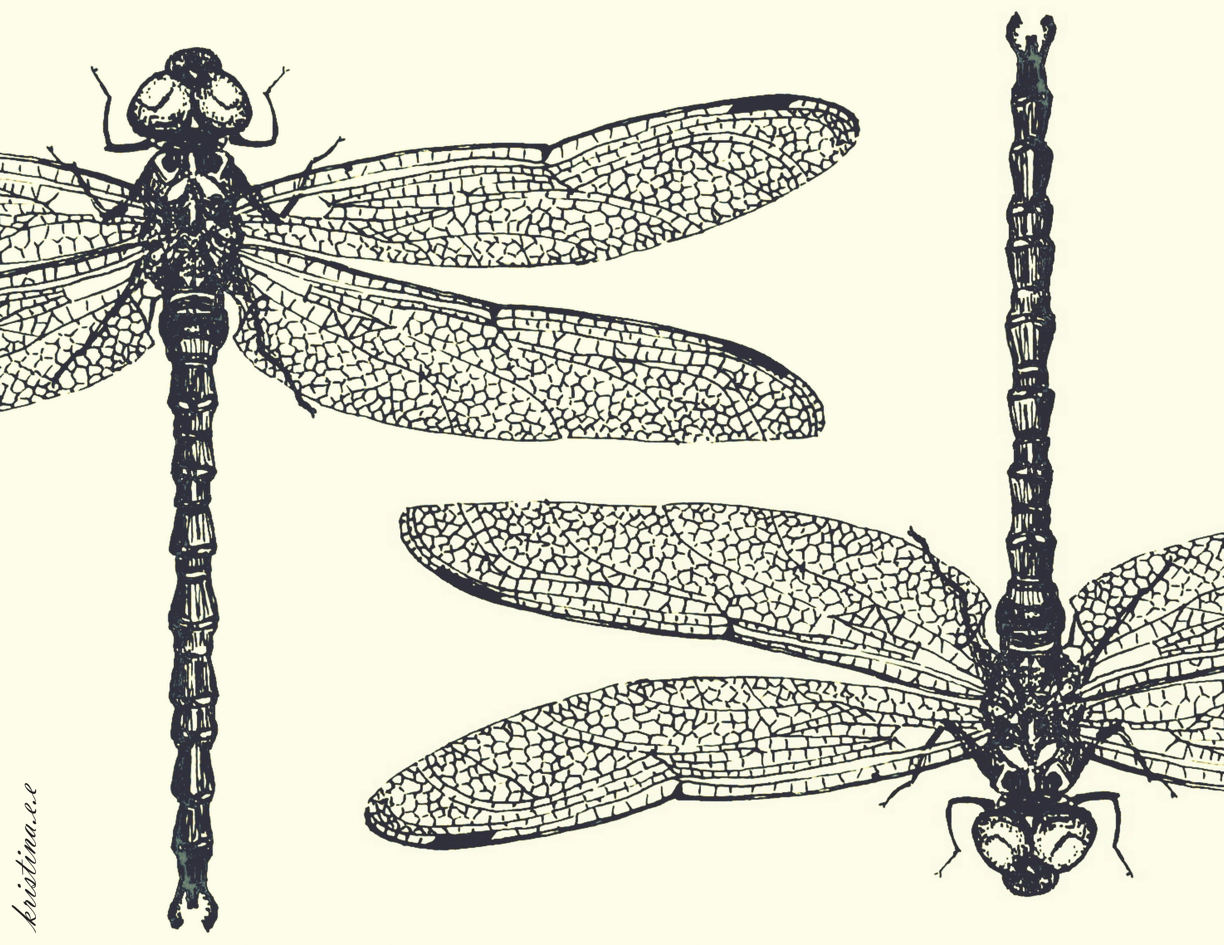 dragonflies eye diagram how to wire up driving lights dragonfly drawing butterflies and dragon flies