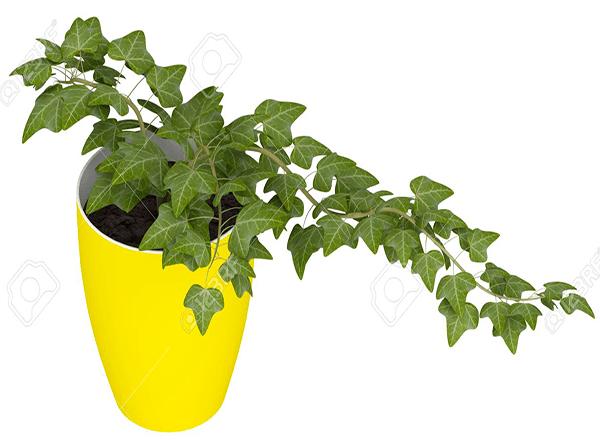 lengua de vaca o de tigre esta planta es perfecta para colocarla en un rincn de tu casa pues no requiere de mucha agua o luz su principal atractivo es