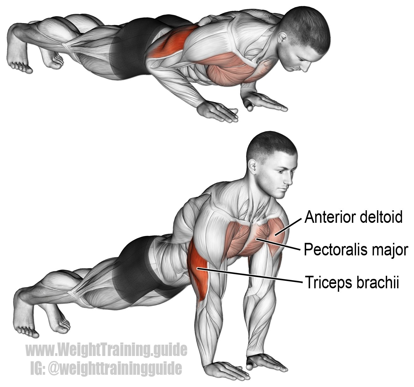 triceps brachii diagram dual stereo wiring close grip pushup targets your