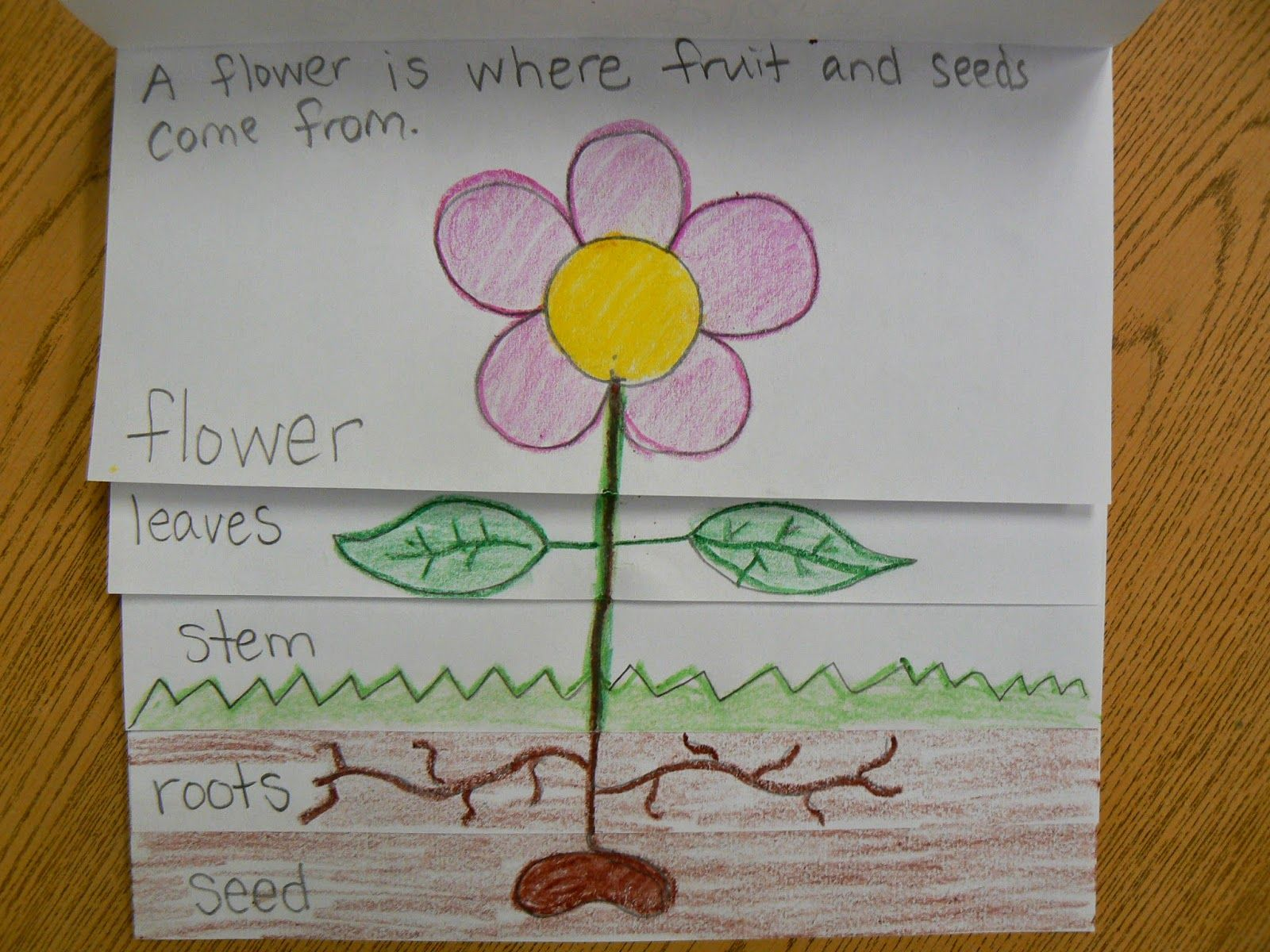 flower diagram career 69 mustang ignition wiring plant parts flip book mrs t 39s first grade class