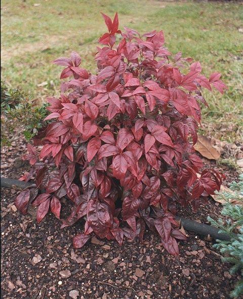 nana nandina small evergreen shrub