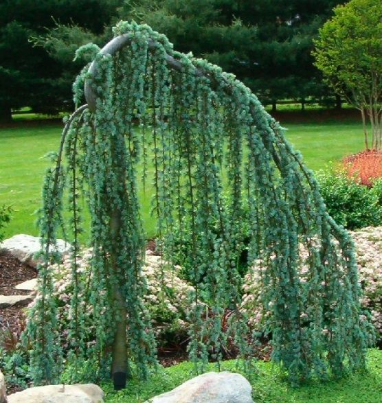 weeping cedar patio remode