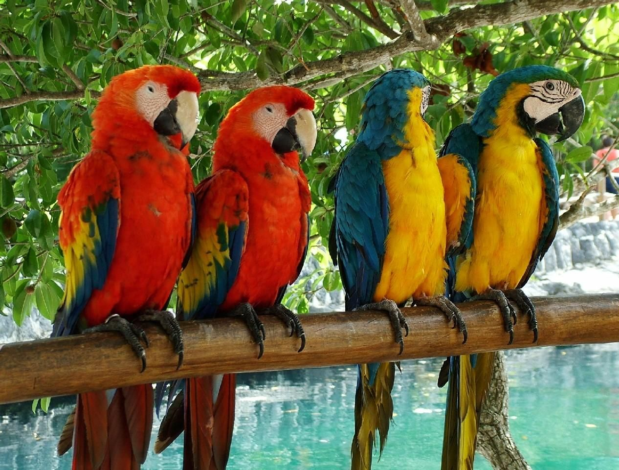 parrots parrots, also known as psittacines, are birds of the