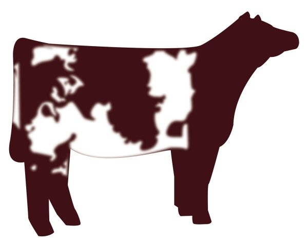 Show Heifer Clip Art Shorthorn Vector Graphic