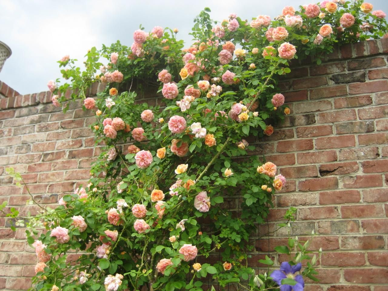 Climbing Roses And An Old Brick Wall