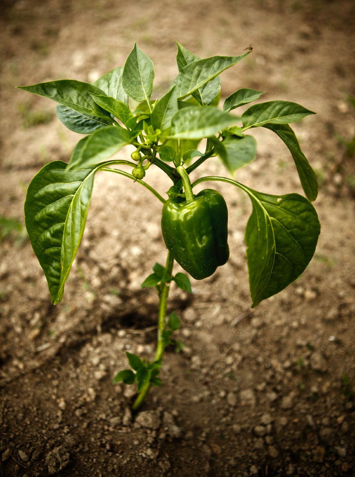 Common Pepper Plant Problems   Vegetable garden Pepper ...