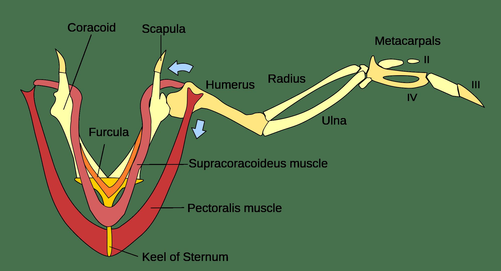 Wing Anatomy