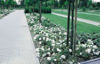 SHRUBS - White Carpet Rose - Also comes in yellow, pink ...