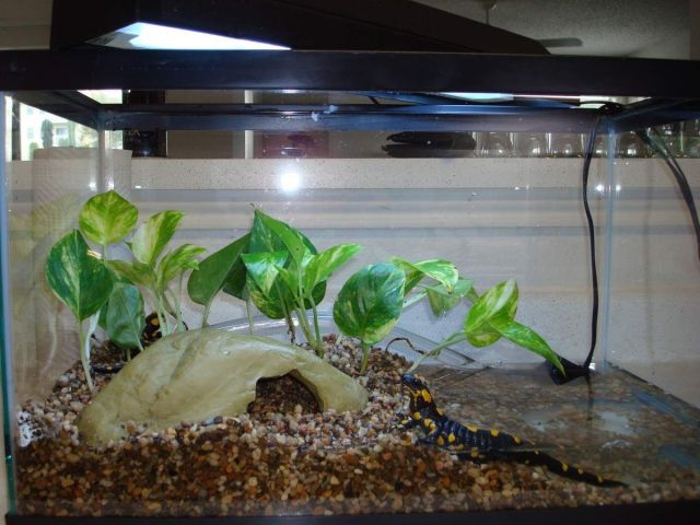Image result for Tanks for Pet Salamanders and Newts