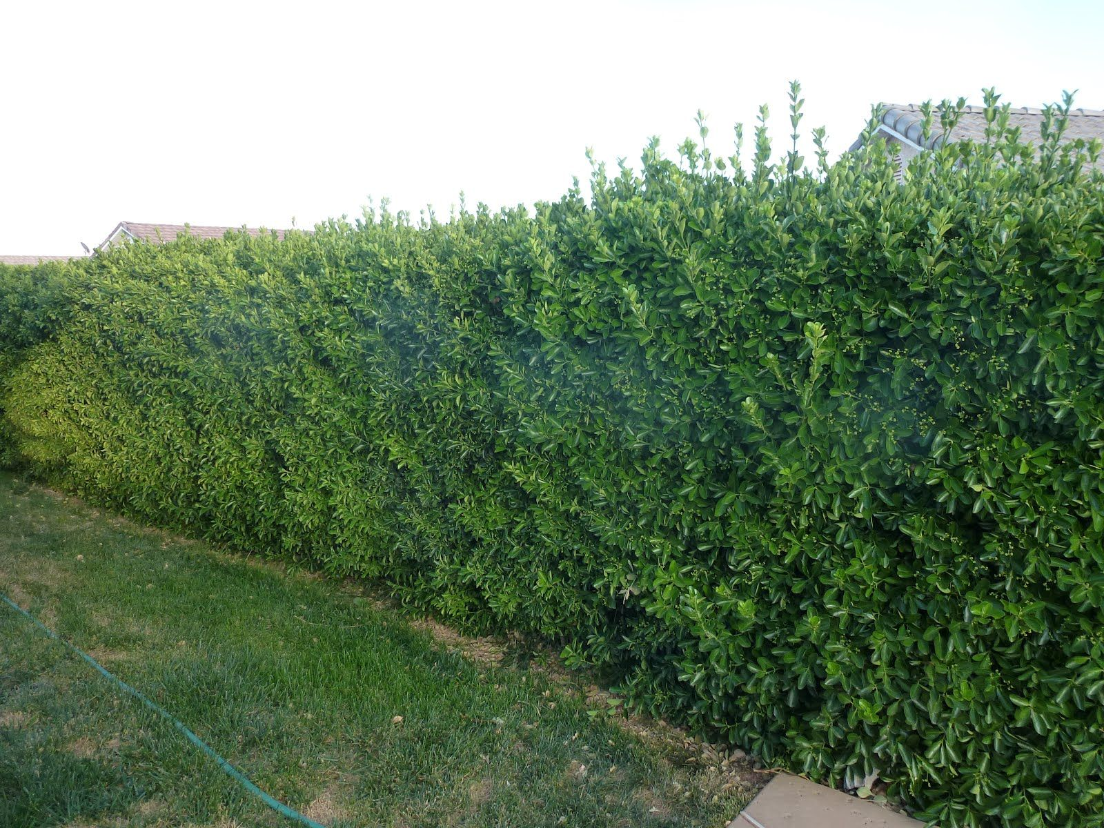 trees or bushes for privacy fence