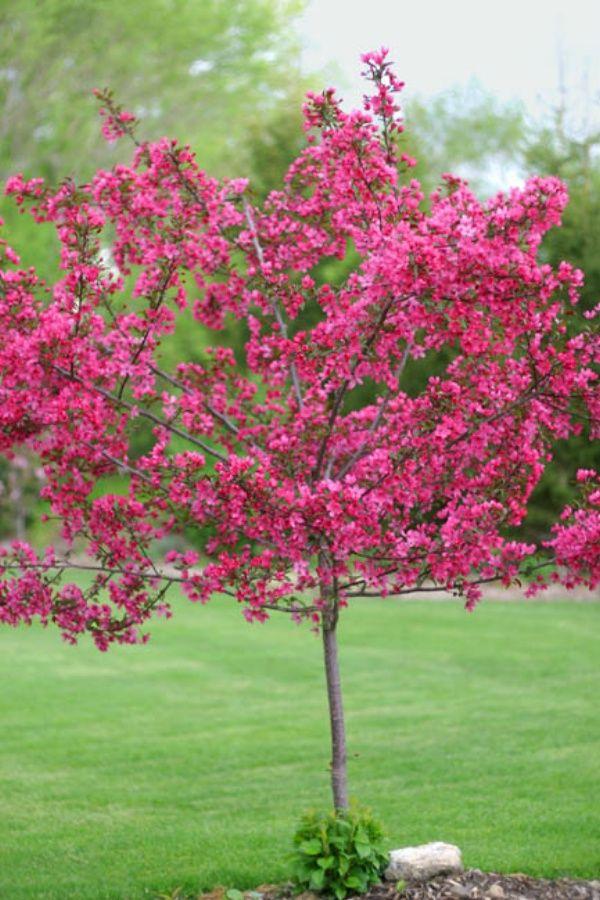 dwarf flowering trees
