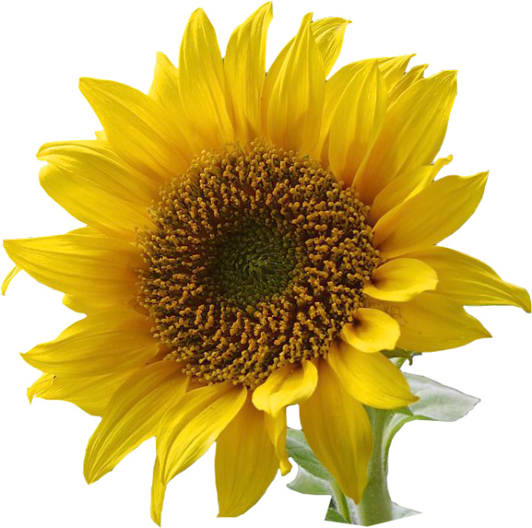 sunflower clip art . resolution