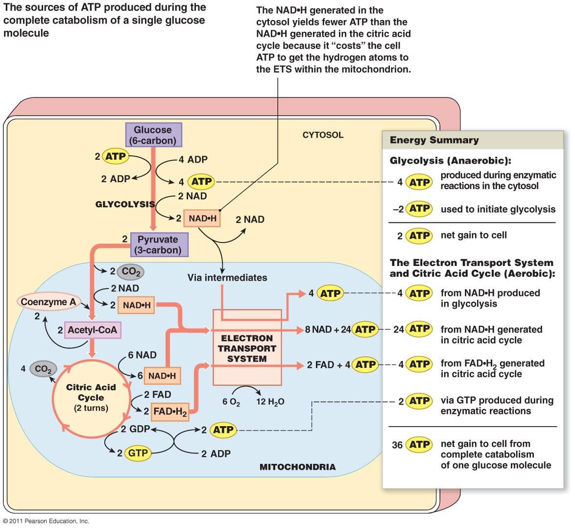 electron transport chain simple diagram 2003 f150 radio wiring glucose metabolism