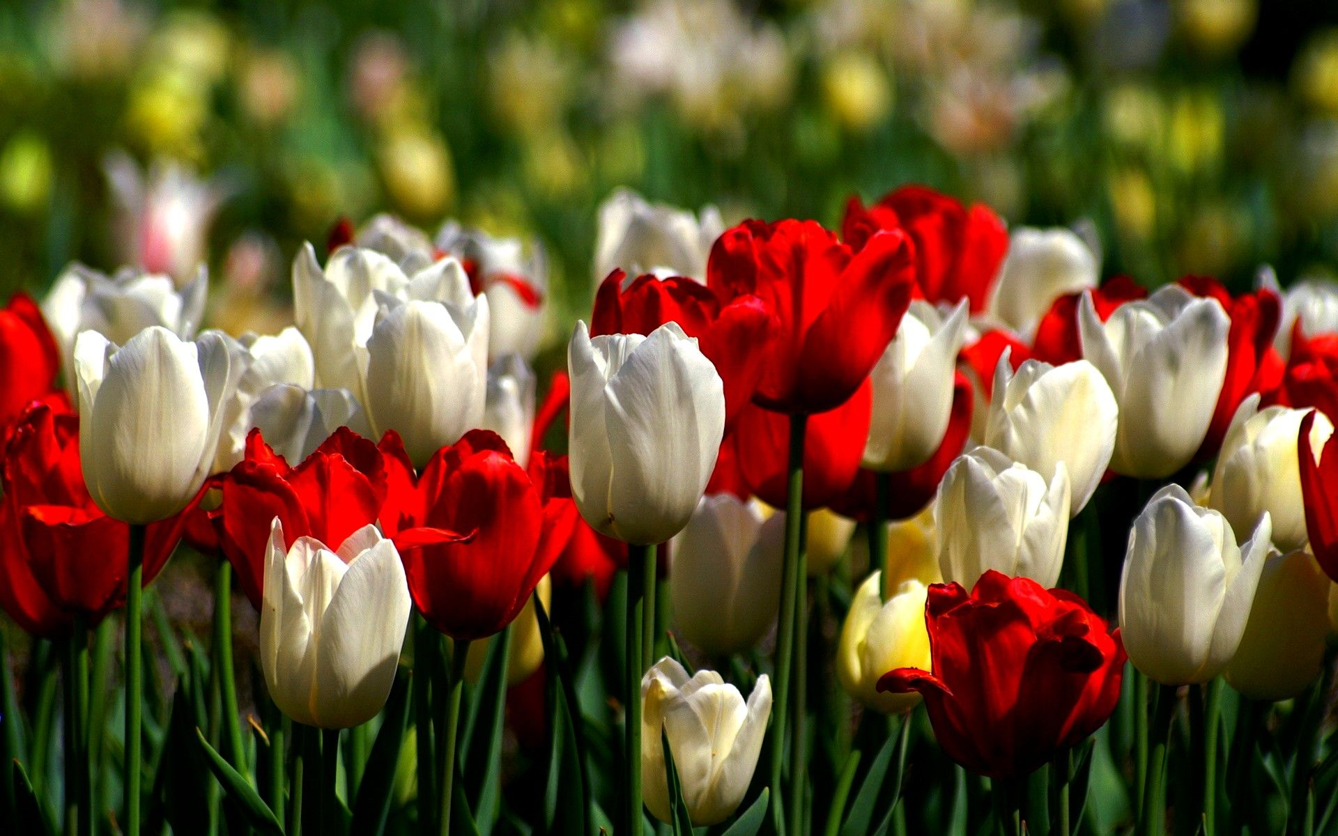 Pink Wallpaper With Cute Puppy Golden Retriever Beautiful Tulip Garden Wallpapers Flower Tulip