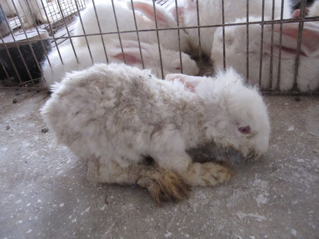 angora farm audits reveal extreme suffering for rabbits wool