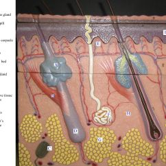 Skin Layers Diagram Labeled Simple 6 Pin Momentary Switch Wiring Model Bing Images Biology Pinterest
