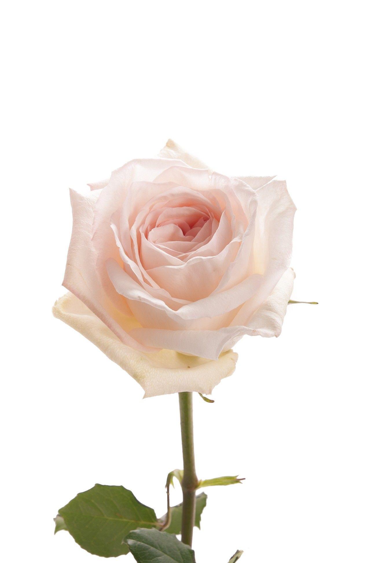 Blush Garden Rose  White Ohara  Garden Roses  Roses