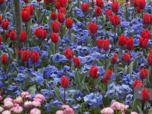 tulips and pansies in hampton court