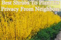 Best 25+ Shrubs for privacy ideas on Pinterest | Evergreen ...