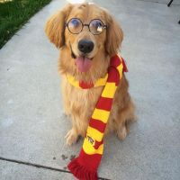 Hairy Potter - dog costumes - Halloween @golden_stark ...