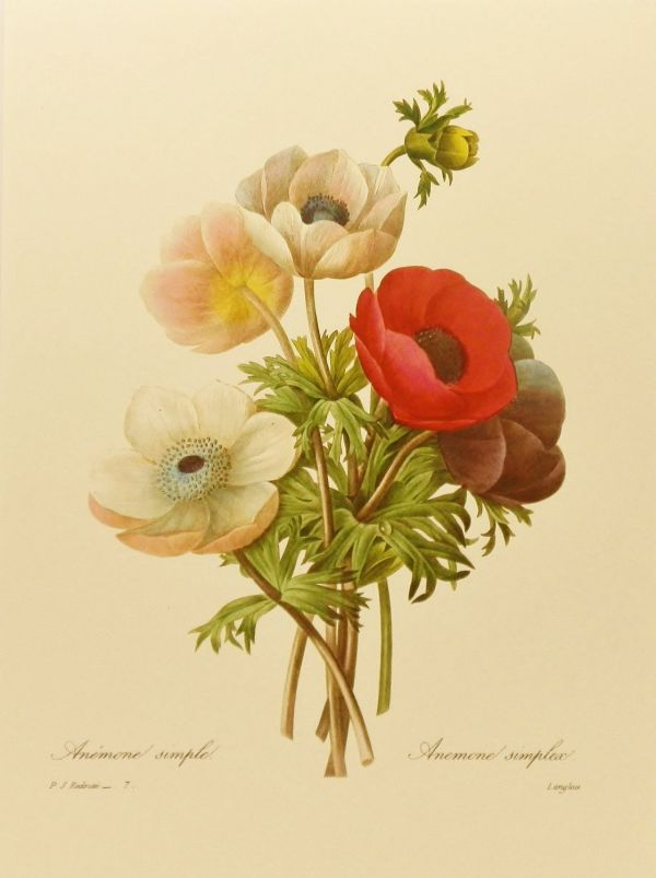 Vintage Poppy Anemone Home Office Decor Colorful Redoute