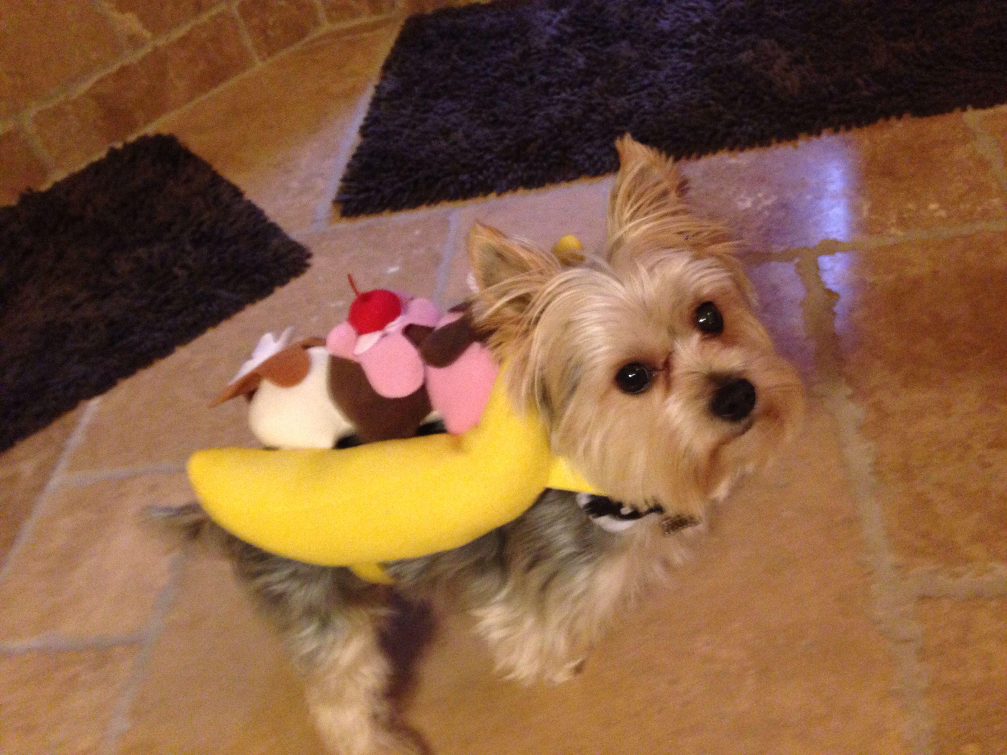 Morkie Dog Banana Split Sundae Costume