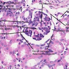 Kidney Cell Diagram Labeled Bone Tissue Histology Pinterest