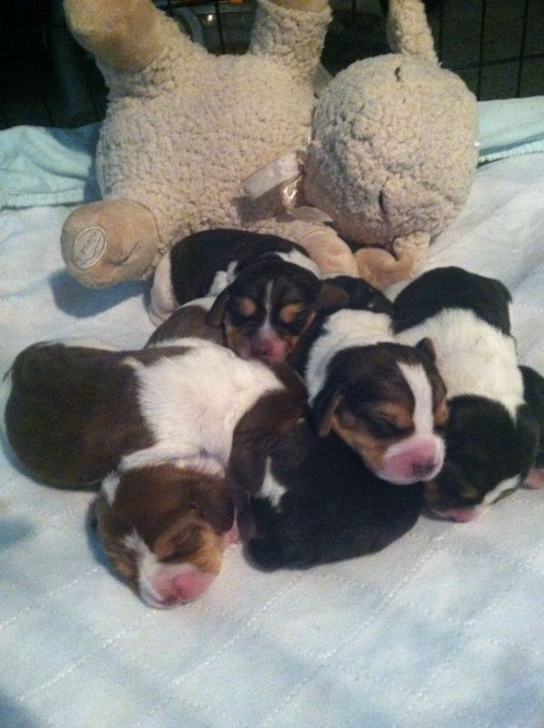 Newborn Beagle Puppies. Cute Puppies