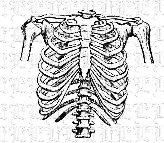 Human Rib Cage Frontal Position Vintage Clip Art