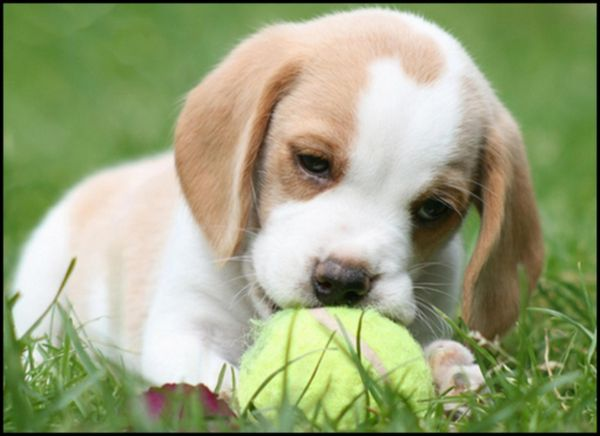 Lemon Beagle Puppies