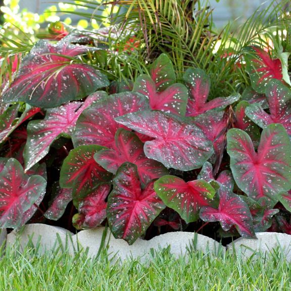 caladium fancy red flash gardens