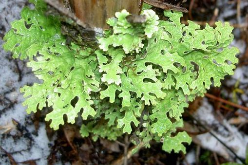 Lichen is an example of symbiosis in the tundra Lichen is a plant thats make up of a type of