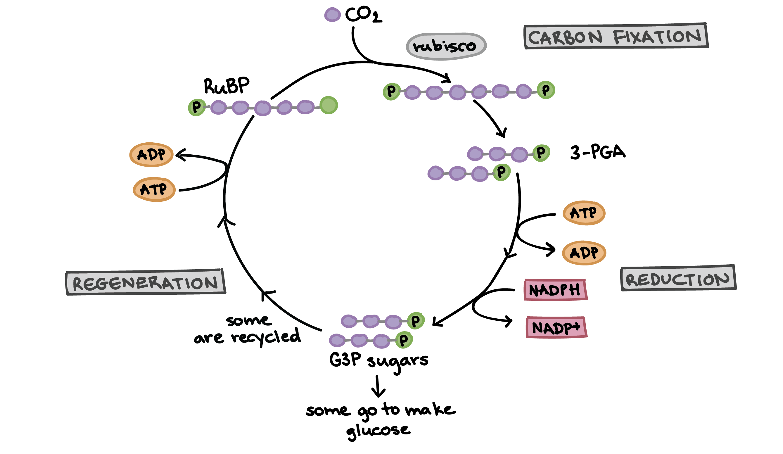 1 The Calvin Cycle