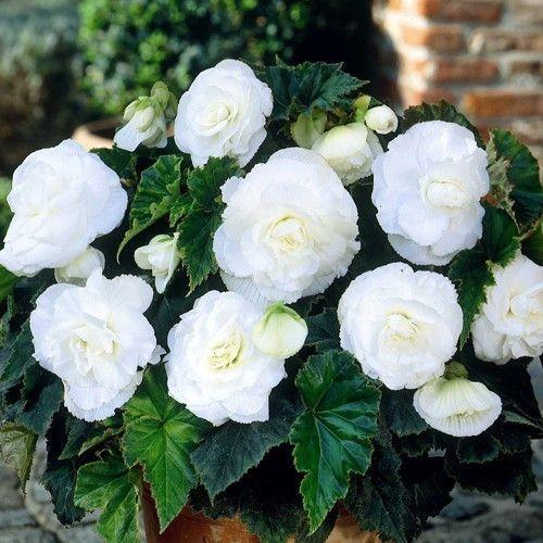 begonia double white flower