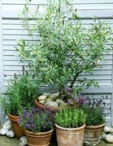 This is why you need olive trees in your home and garden gardeninglayout also rh pinterest