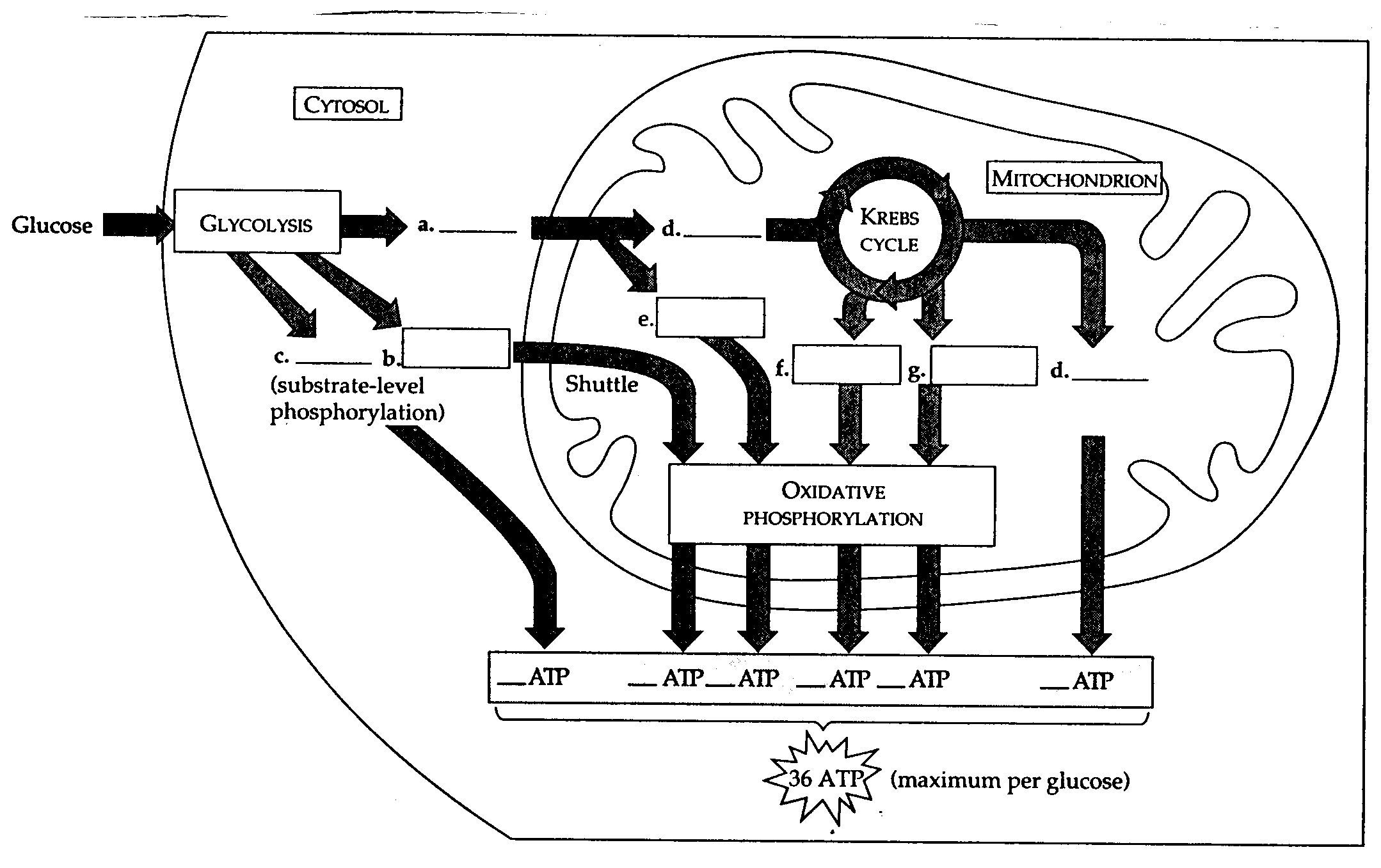Cellular Respiration Diagram Worksheet Blank