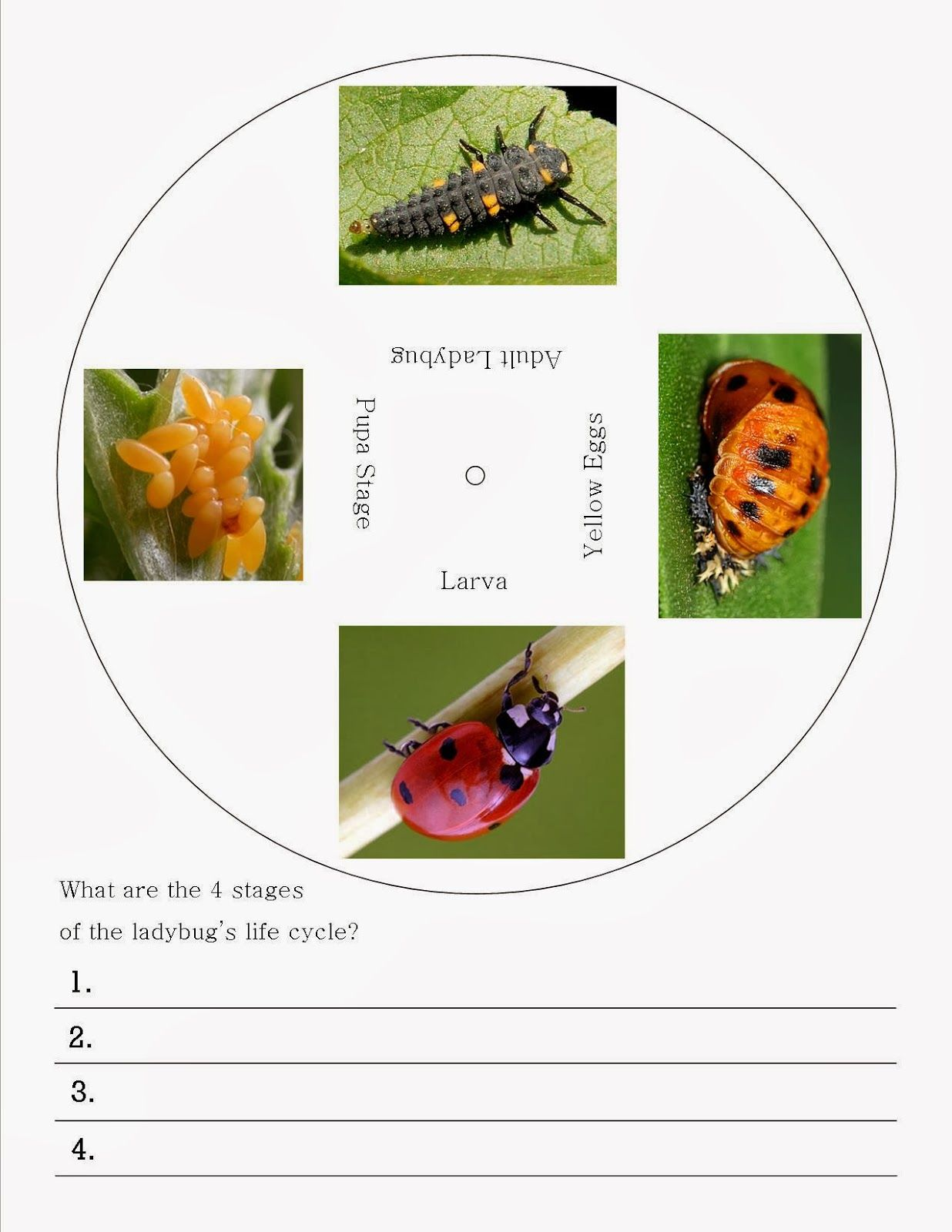 Worksheet Ladybug Life Cycle Worksheet Grass Fedjp Worksheet Study Site