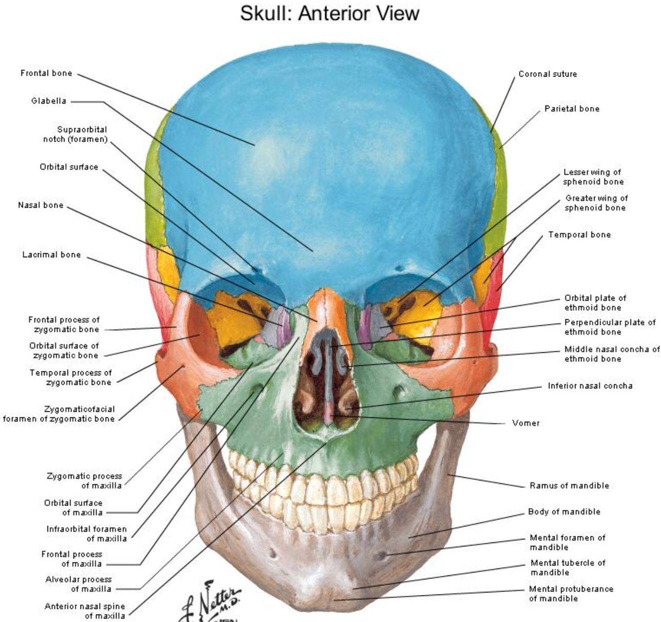 Anterior View Skull