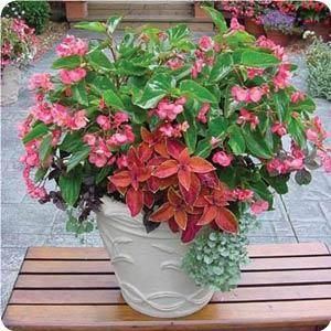 Warm Season Mixed Container For Sun Or Shade With Begonia Coleus