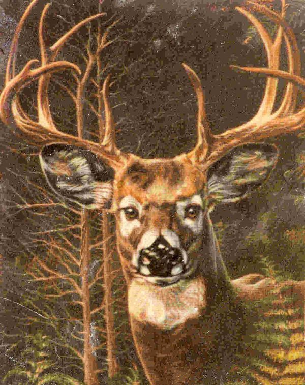 Whitetail Deer Buck Drawing