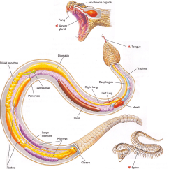 Snake Anatomy Diagram Parts Of A Flower Ks2 Python Skull Diagrams Free Engine Image For User