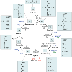 Explain Krebs Cycle With Diagram Ford Ranger Radio Wiring 1997 Car Stereo And Overview Of The Or Citric Acid Biology I