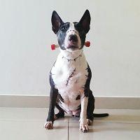 Bull terrier Frankenweenie costume | Bull Terrier Love ...