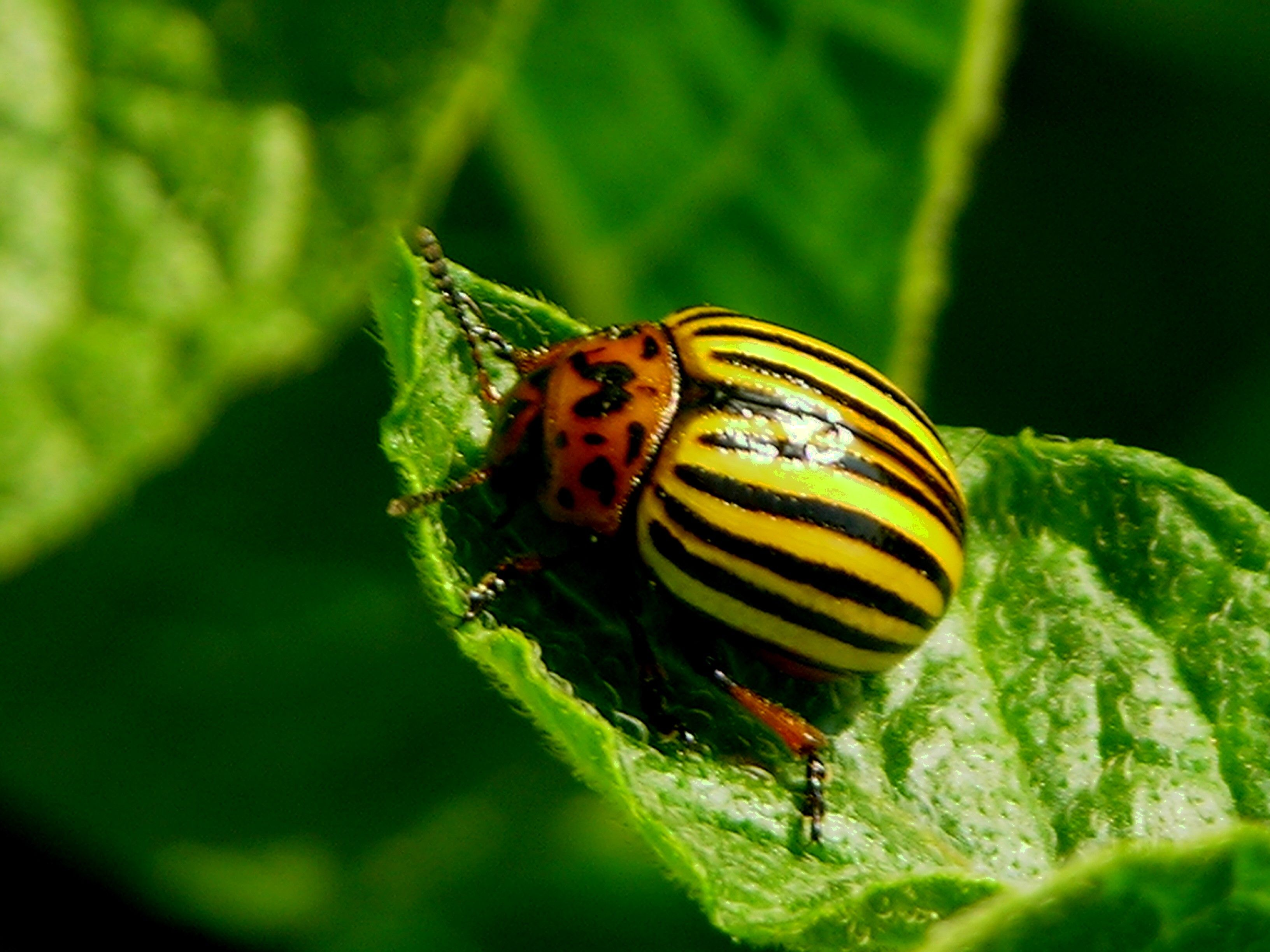 Garden Insects And Pests Colorado Potato Beetles1