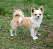 long hair chihuahua haircut styles