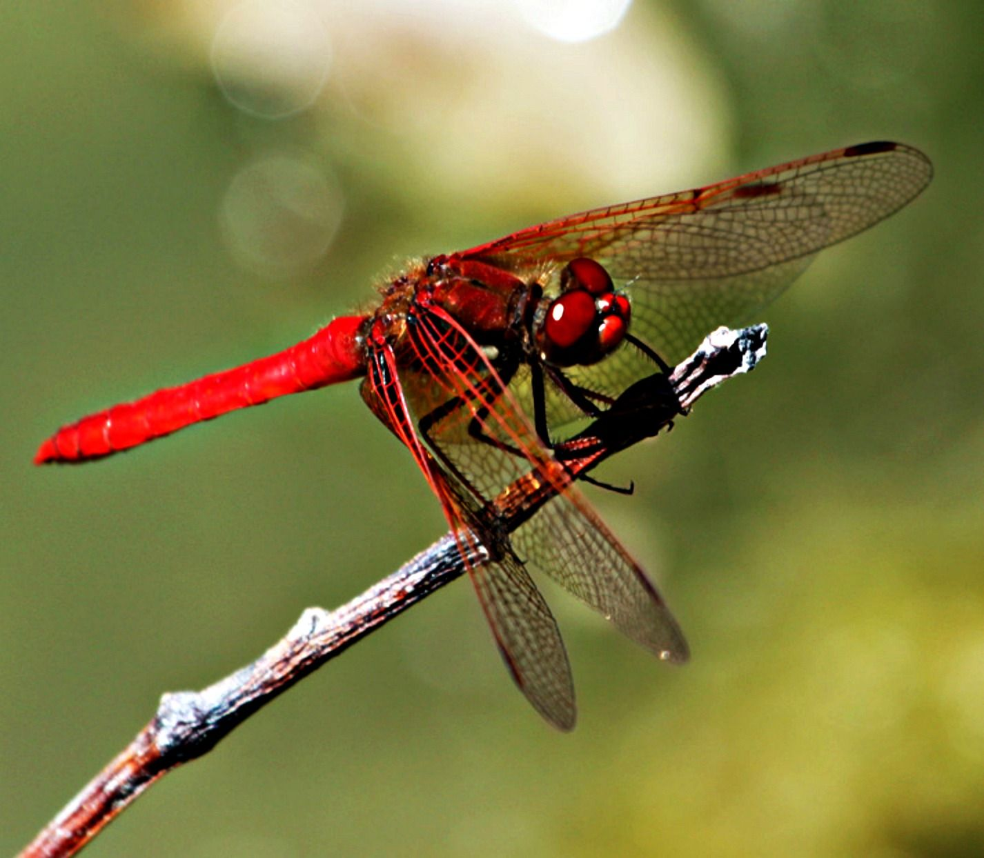 dragonfly wings | unreliable narrator: shoestrings and dragonfly