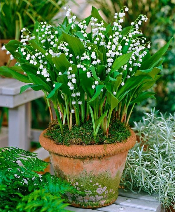home & garden lily of valley