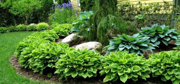 landscape with hostas hosta garden