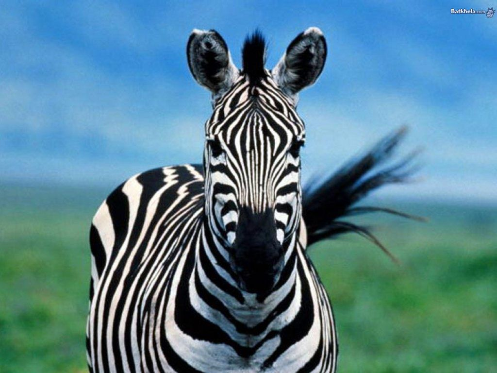 zebra - the animal kingdom wallpaper (250734) - fanpop fanclubs